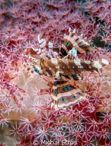 A dwarf lionfish